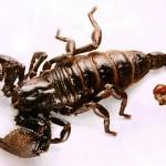 Nọc bọ cạp: Chất độc hữu ích?